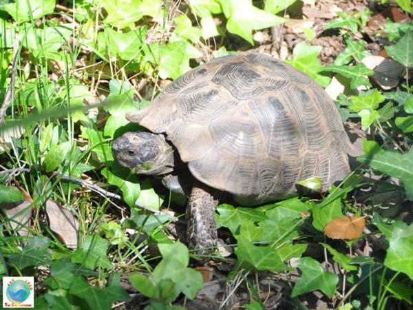 tartaruga-a-Tor-Caldara